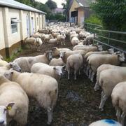 Sheep at Kingston Maurwood